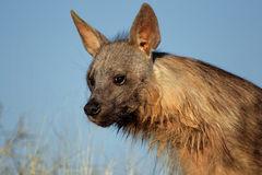 Brown-Hyäneportrait Stockbild