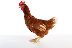 Brown hybrid hen  isolated on white Royalty Free Stock Image