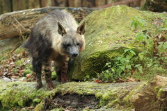 Brown hyena Royalty Free Stock Images