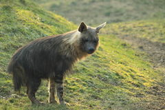 Brown hyena. The brown hyena standing in the grassland Royalty Free Stock Photography
