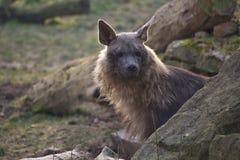 Brown hyena Fotografering för Bildbyråer