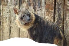 Brown hyena Stock Photos