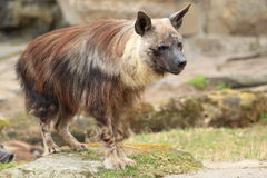 Brown hyena. The adult brown hyena standing on the rocky surface stock photo