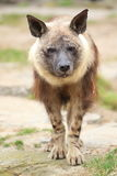 Brown hyena. The posing brown hyena in the soil stock photography