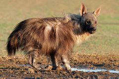 Brown hyena Royalty Free Stock Image