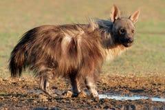 Brown hyena Royaltyfri Bild