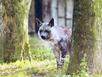 A Brown hyena Royalty Free Stock Images