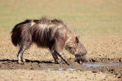 Brown hyena Arkivfoton
