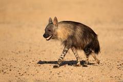 Free Brown Hyena Royalty Free Stock Images - 37072939