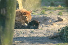 Brown hyena with cub. The brown hyena with her juvenile Royalty Free Stock Photo