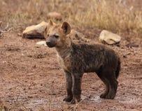 Brown Hyena Cub Royalty Free Stock Photo