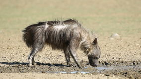 Brown hyena drinking water Royalty Free Stock Photos