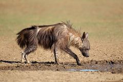 Brown hyena drinking water Royalty Free Stock Photo