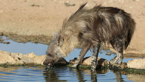 Brown hyena drinking water Stock Photos