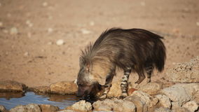 Brown hyena drinking water 02 Stock Photography