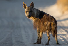 Brown Hyena at first light Royalty Free Stock Image