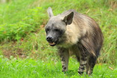 Brown hyena. The brown hyena in the grass Stock Image