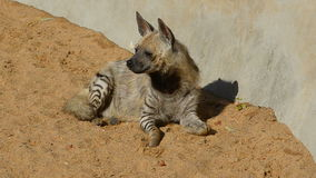 Brown hyena stock footage
