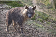 Brown hyena on the hill. Brown hyena (Parahyaena brunnea) walking on grass Royalty Free Stock Photos