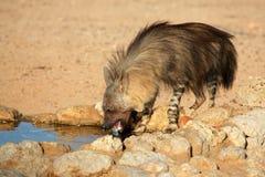 Brown hyena. A brown hyena (Hyaena brunnea) drinking water, Kalahari desert, South Africa Royalty Free Stock Photo