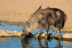 Brown hyena Stock Image