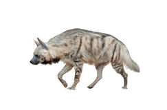 Brown hyena isolated Stock Photo