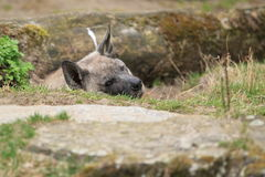 Brown hyena Royalty Free Stock Photo