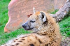 Brown hyena lying on grass Stock Photography