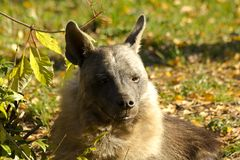 Brown Hyena Parahyaena Brunnea Stock Photo