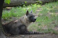 Brown hyena (Parahyaena brunnea). Brown hyena in the Prague ZOO Stock Images