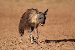 Brown hyena walking Stock Photography