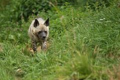 Brown hyena walking in the nature looking habitat in zoo. Wild animals in captivity. Beautiful canine and carnivore. Hyaena brunnea Stock Image