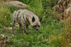 Brown hyena walking in the nature looking habitat in zoo. Wild animals in captivity. Beautiful canine and carnivore. Hyaena brunnea Stock Photo