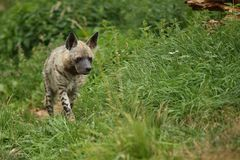 Brown hyena walking in the nature looking habitat in zoo. Wild animals in captivity. Beautiful canine and carnivore. Hyaena brunnea Stock Images