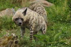 Brown hyena walking in the nature looking habitat in zoo. Wild animals in captivity. Beautiful canine and carnivore. Hyaena brunnea Royalty Free Stock Photography
