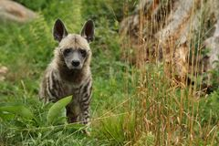Brown hyena walking in the nature looking habitat in zoo. Wild animals in captivity. Beautiful canine and carnivore. Hyaena brunnea Royalty Free Stock Image