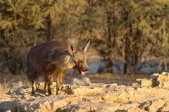 Brown Hyena at waterhole Stock Images