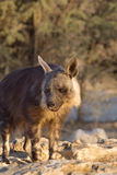 Brown Hyena at waterhole Stock Photos