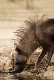 Brown Hyena at the watering hole Stock Photography