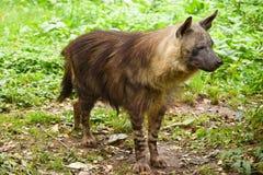 A brown hyena Stock Photo