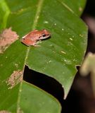 A brown Hyla frog Royalty Free Stock Image