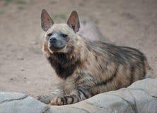 Brown-Hyänenporträt Stockfotos