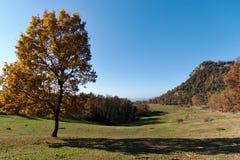 Brown i żółtej jesieni dębowy drzewo samotnie w polu obraz royalty free