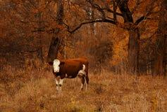 Brown i biała barwiona krowy pozycja blisko jesieni lasowego Naturalnego animalistycznego tła Fotografia Stock