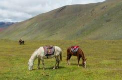 Brown i biały koń z comberem na zielonej łące Obraz Royalty Free