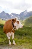 Brown i białe krowy Fotografia Stock