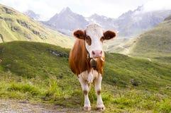 Brown i białe krowy Obraz Stock