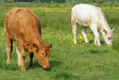 Brown i Białe krowy w zieleni polu Obraz Stock