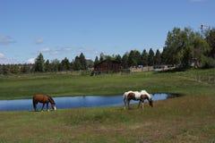 Brown i białego konia pasanie Obrazy Royalty Free