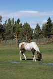 Brown i białego konia pasanie ja Zdjęcie Stock